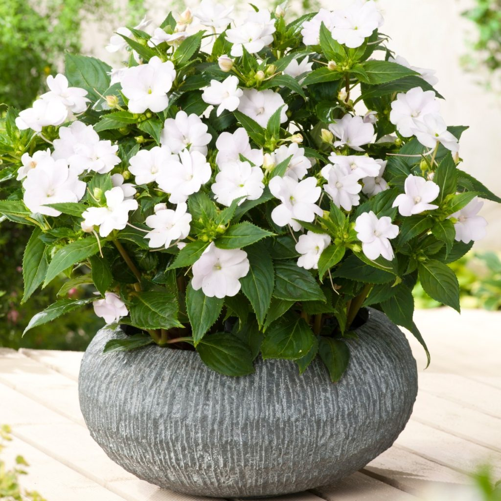impatiens..-1024x1024 Best 30 Bright Colorful Flowers for Your Garden