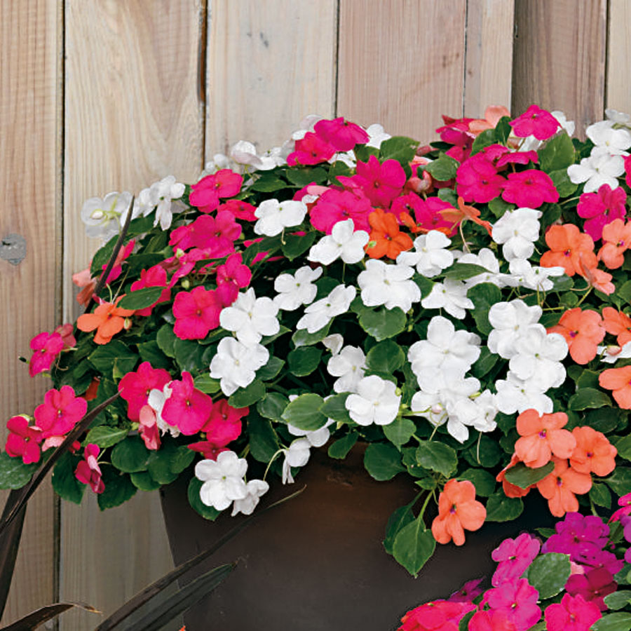 impatiens Best 30 Bright Colorful Flowers for Your Garden