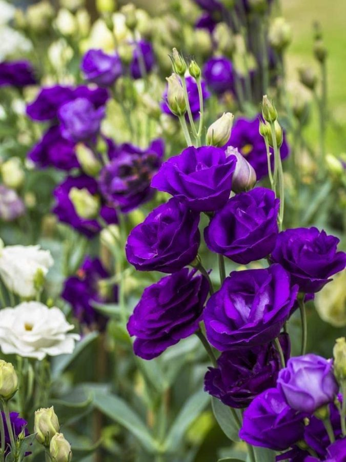 prple-Lisianthus-675x900 Top 10 Most Expensive Flowers in The World