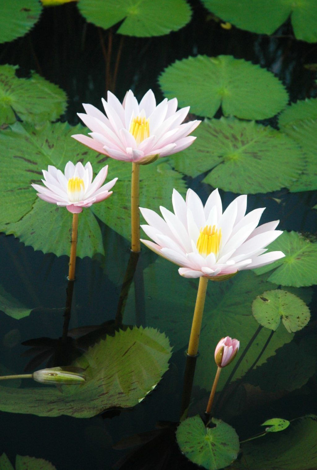 tropical-night-blooming-water-lilies-1-1024x1520 Top 10 Flowers that Bloom at Night