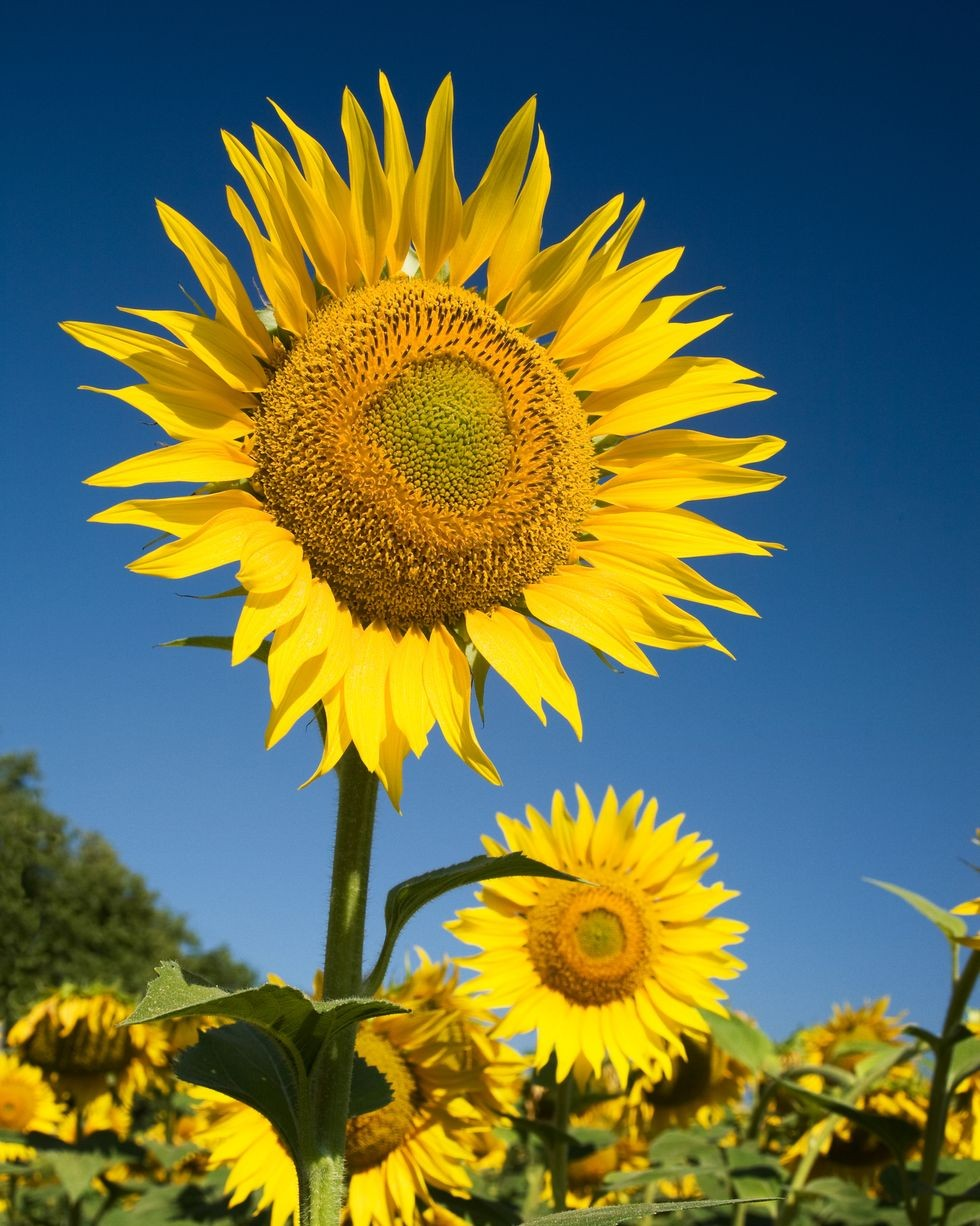 Skyscrapers-sunflowers Best 30 Bright Colorful Flowers for Your Garden