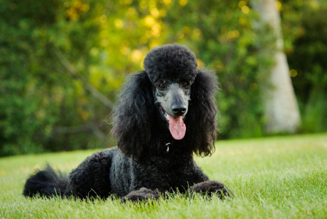 black-poodle-dog-675x451 8 Special Care Tips for Your Poodle