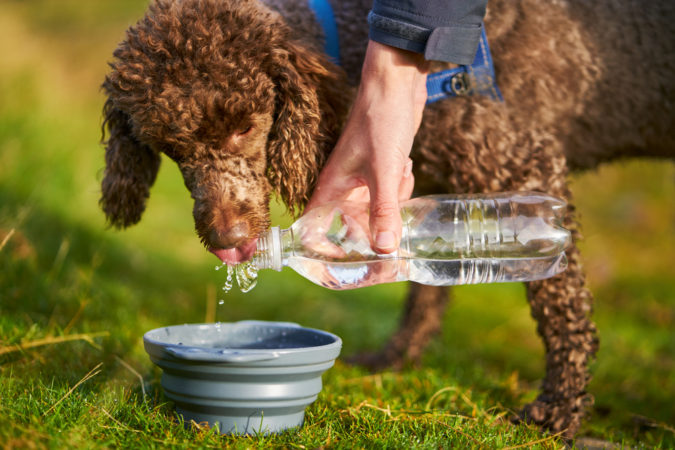 poddle-dog-drinking-675x450 8 Special Care Tips for Your Poodle