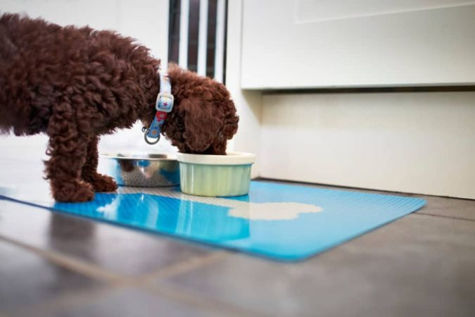 poddle-dog-eating-675x450 8 Special Care Tips for Your Poodle