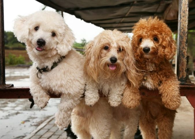 poddle-dogs-playing-675x482 8 Special Care Tips for Your Poodle