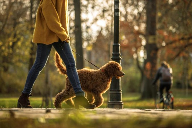 poodle-dog-675x450 8 Special Care Tips for Your Poodle