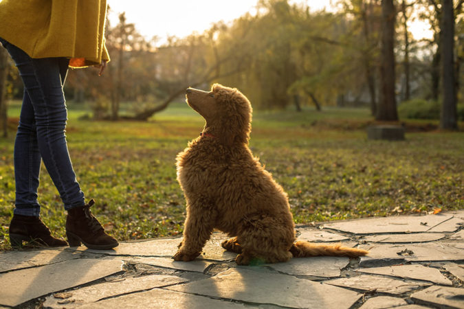 training-poddle-dog-675x450 8 Special Care Tips for Your Poodle