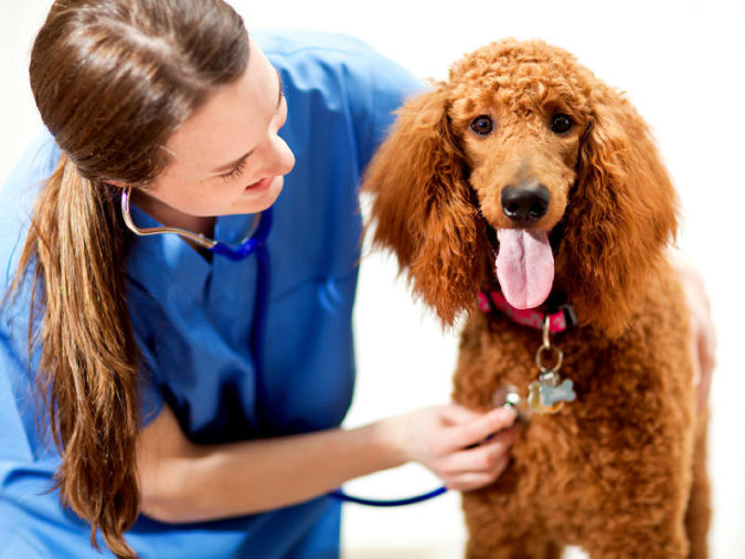 vet-checking-poddle-dog-675x506 8 Special Care Tips for Your Poodle