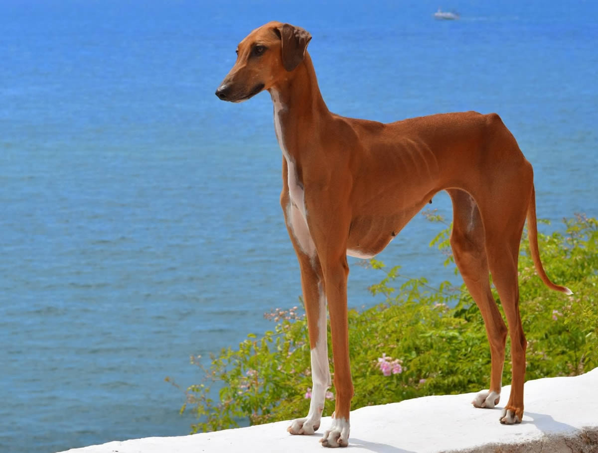 Azawakh. Top 10 Rarest Dog Breed on Earth That Are Unique