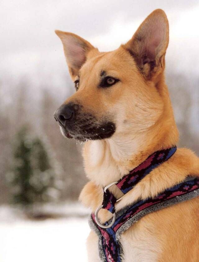 Chinook-3 Top 10 Rarest Dog Breed on Earth That Are Unique