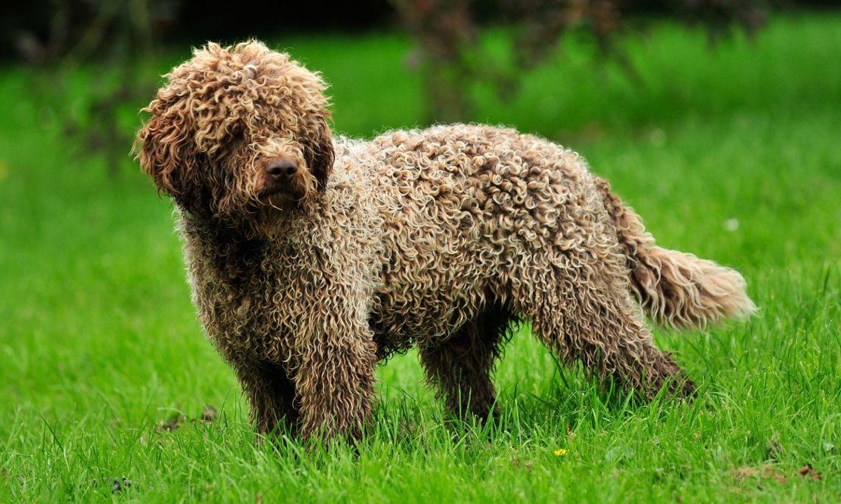 Lagotto-Romagnolo. Top 10 Rarest Dog Breed on Earth That Are Unique