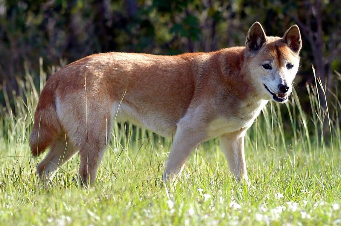 New-Guinea-singing-dog. Top 10 Rarest Dog Breed on Earth That Are Unique