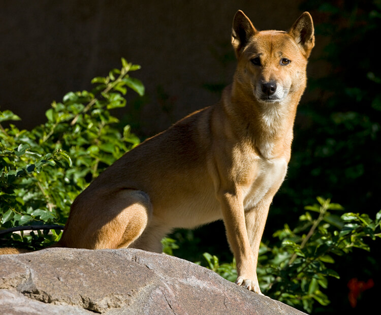 New-Guinea-singing-dog Top 10 Rarest Dog Breed on Earth That Are Unique