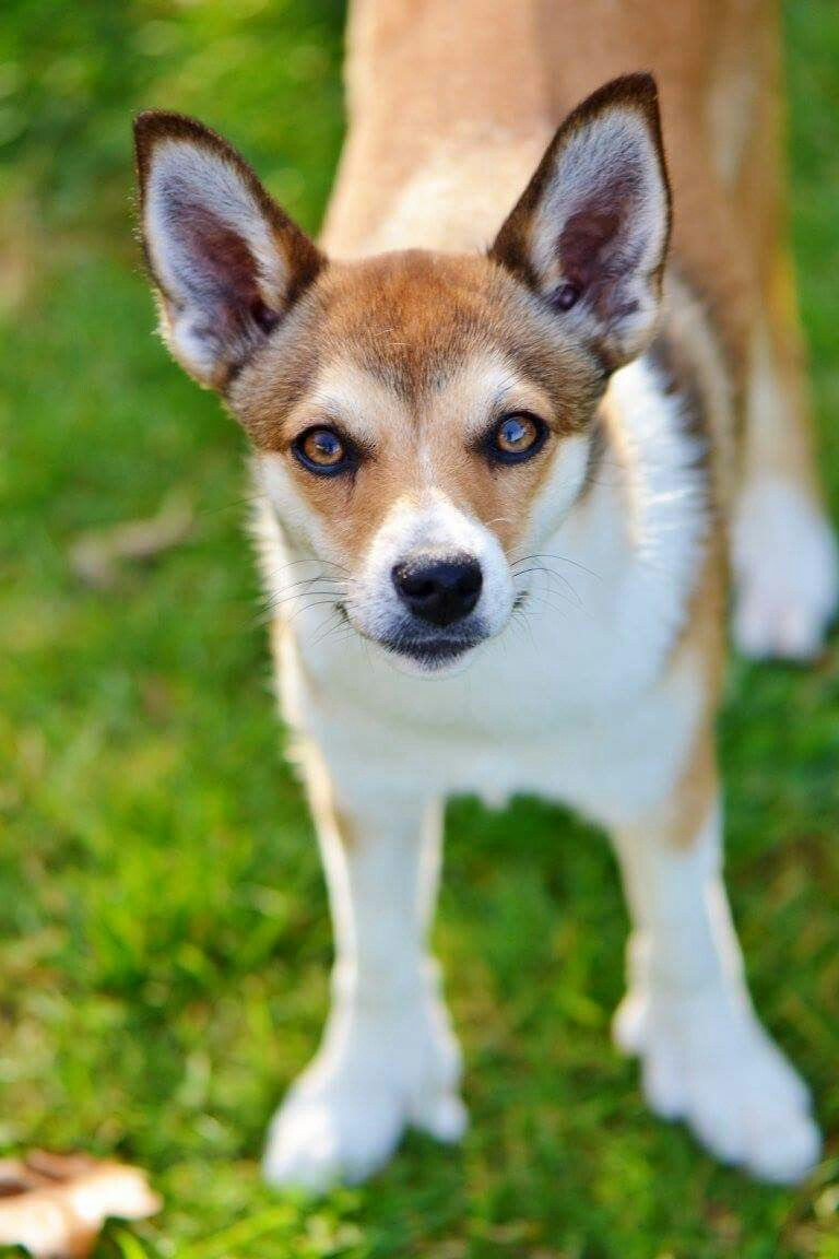 Norwegian-Lundehund.-1 Top 10 Rarest Dog Breed on Earth That Are Unique