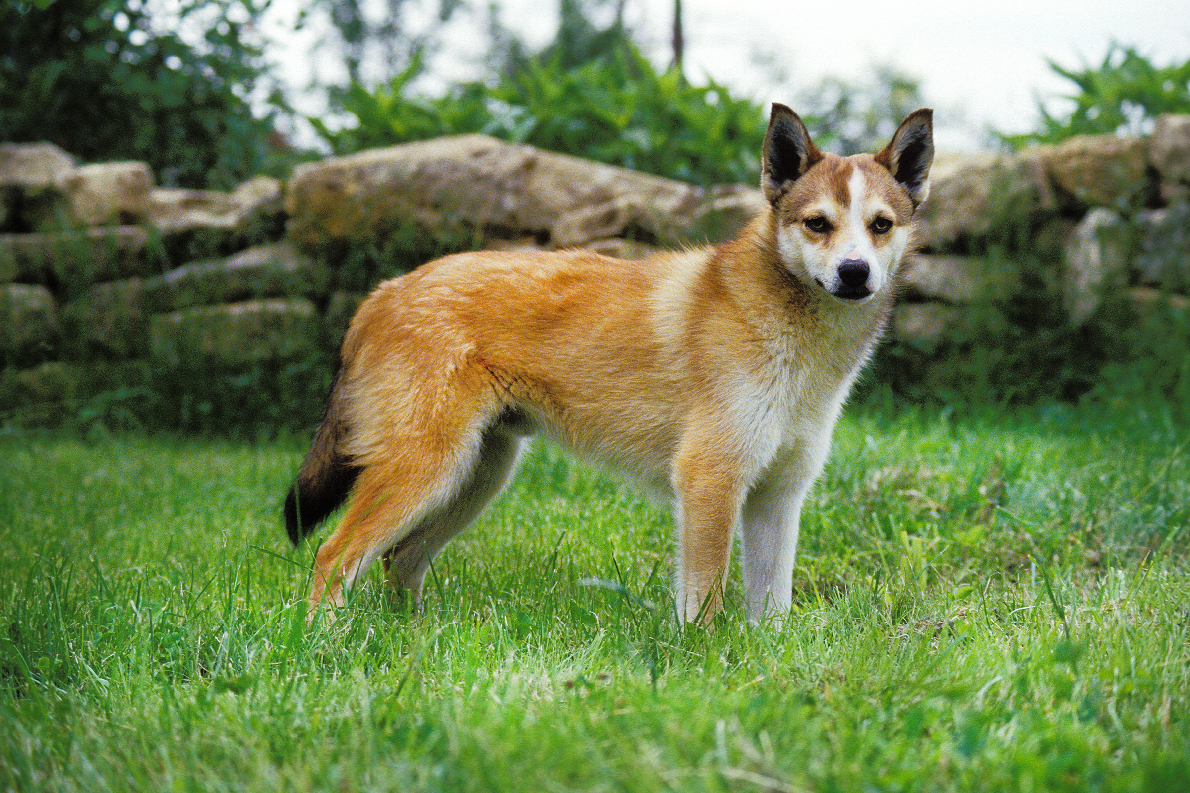 Norwegian-Lundehund Top 10 Rarest Dog Breed on Earth That Are Unique