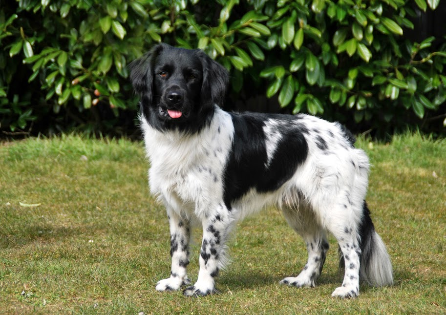 Stabyhoun Top 10 Rarest Dog Breed on Earth That Are Unique