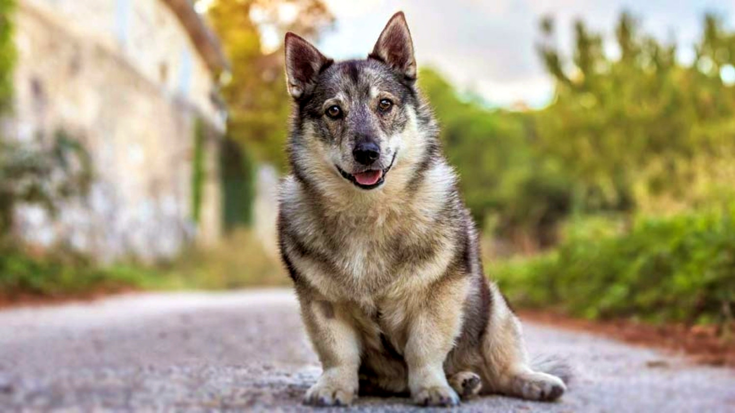 Swedish-Vallhund. Top 10 Rarest Dog Breed on Earth That Are Unique