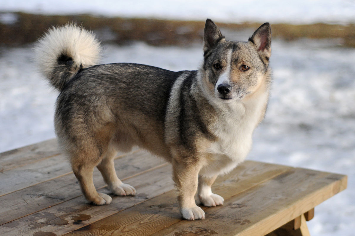 Swedish-Vallhund Top 10 Rarest Dog Breed on Earth That Are Unique