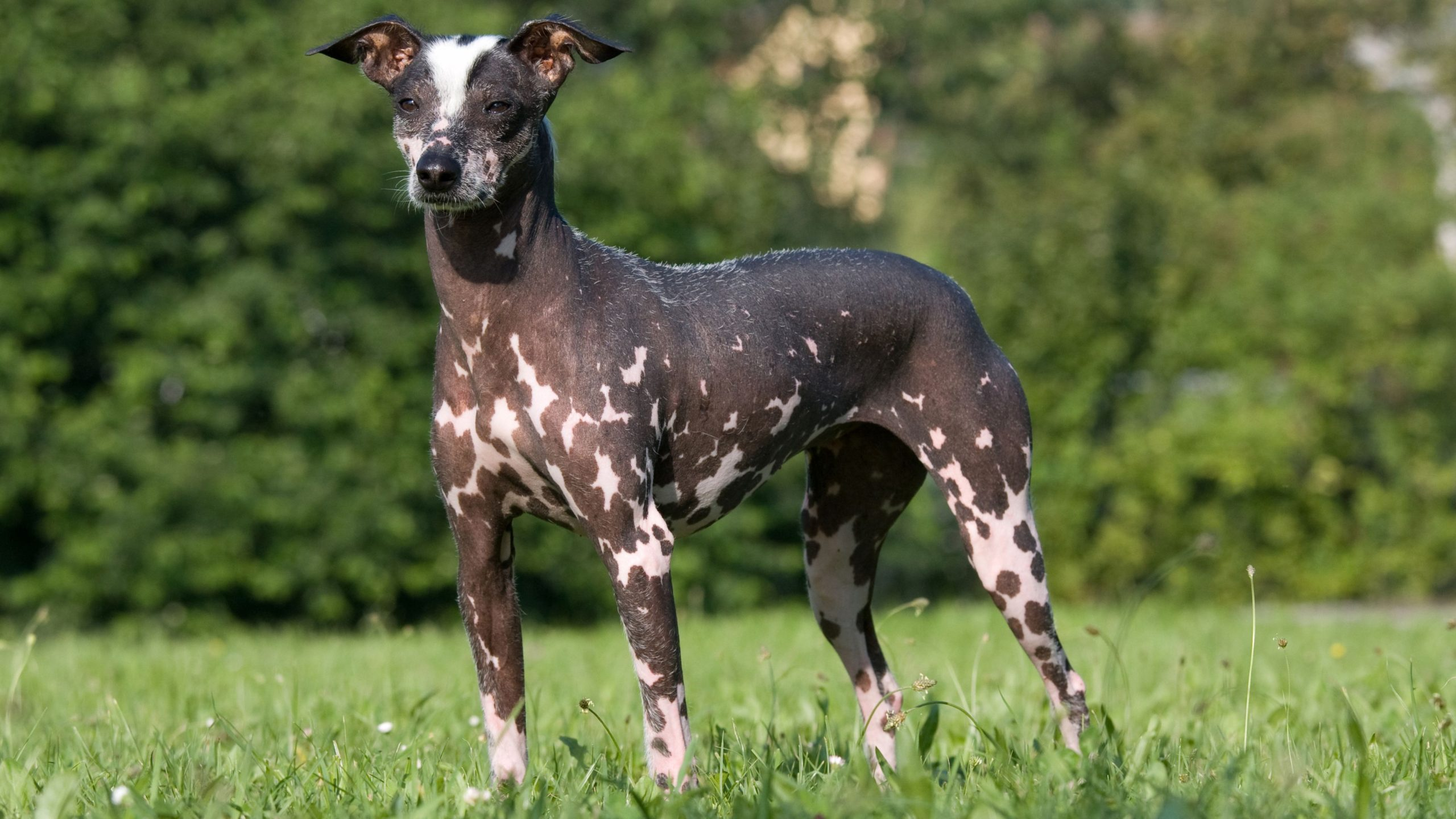 The-Peruvian-Inca-Orchid-scaled Top 10 Rarest Dog Breed on Earth That Are Unique