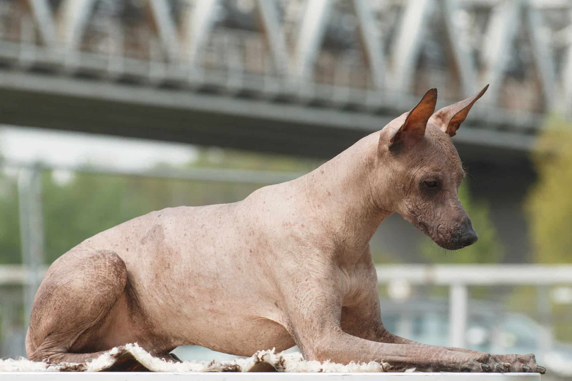 The-Peruvian-Inca-Orchid. Top 10 Rarest Dog Breed on Earth That Are Unique
