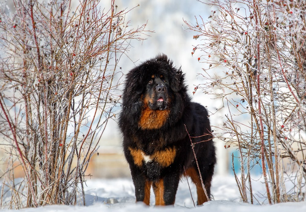 Tibetan-Mastiff. Top 10 Rarest Dog Breed on Earth That Are Unique