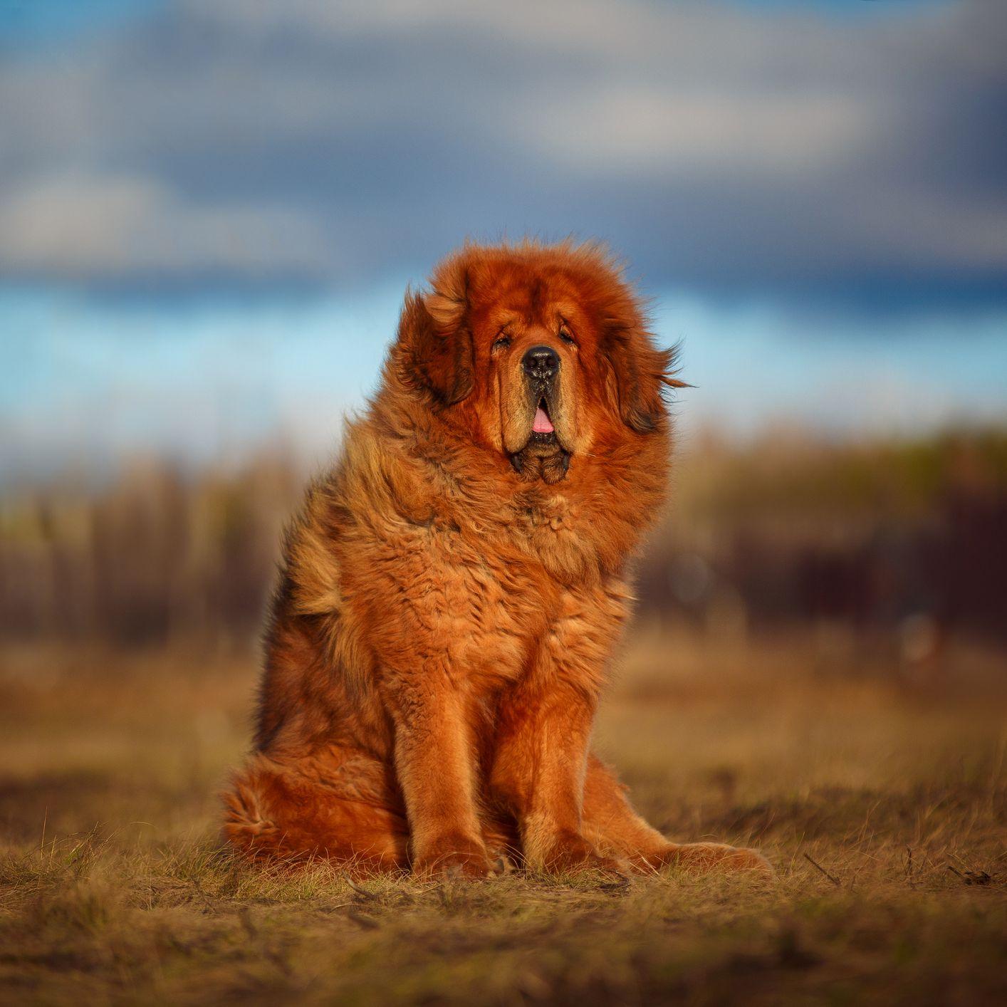 Tibetan-Mastiff Top 10 Rarest Dog Breed on Earth That Are Unique
