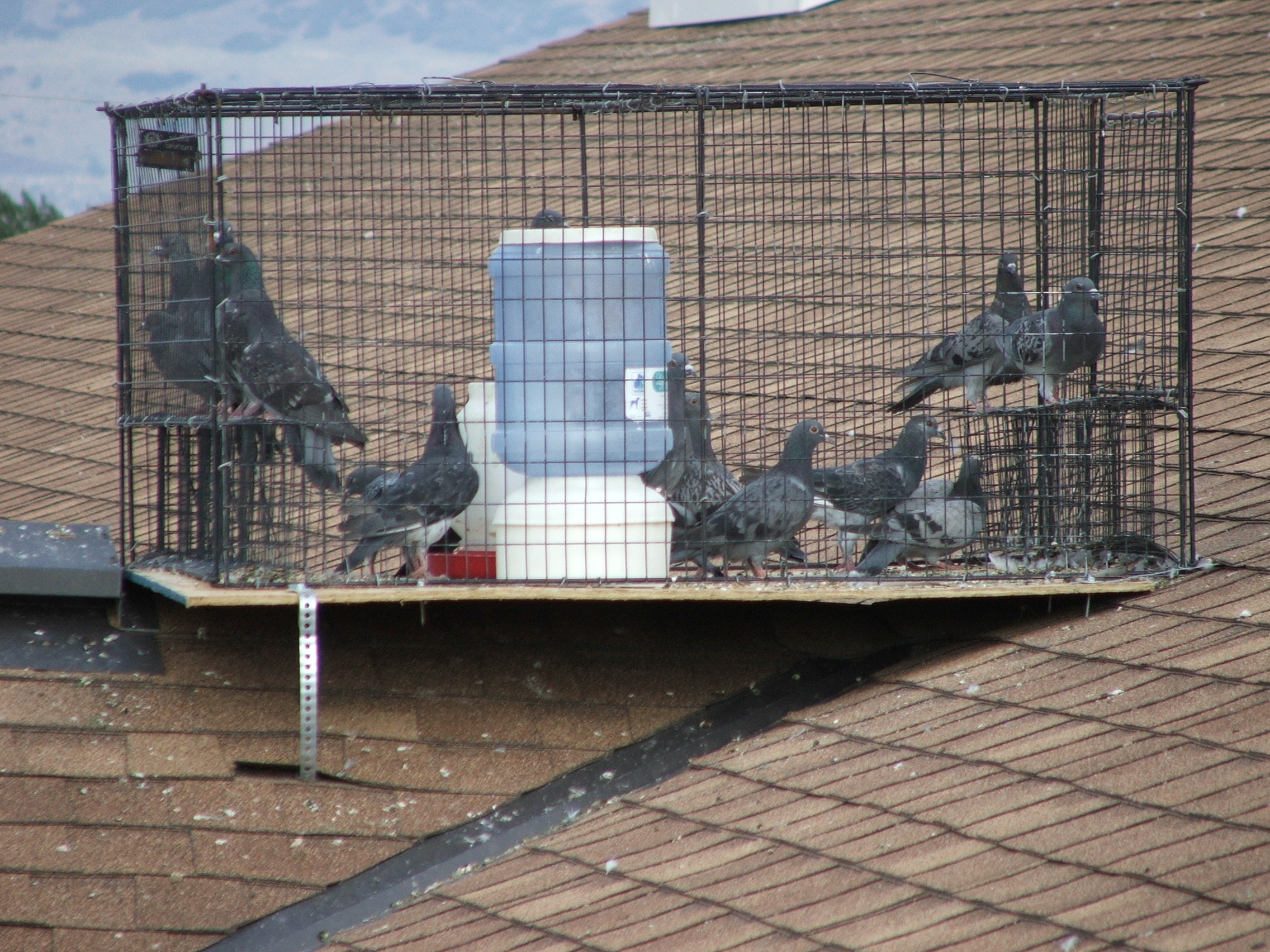 Pigeon-Traps Pigeon Population Control: Explore the Most Effective Methods
